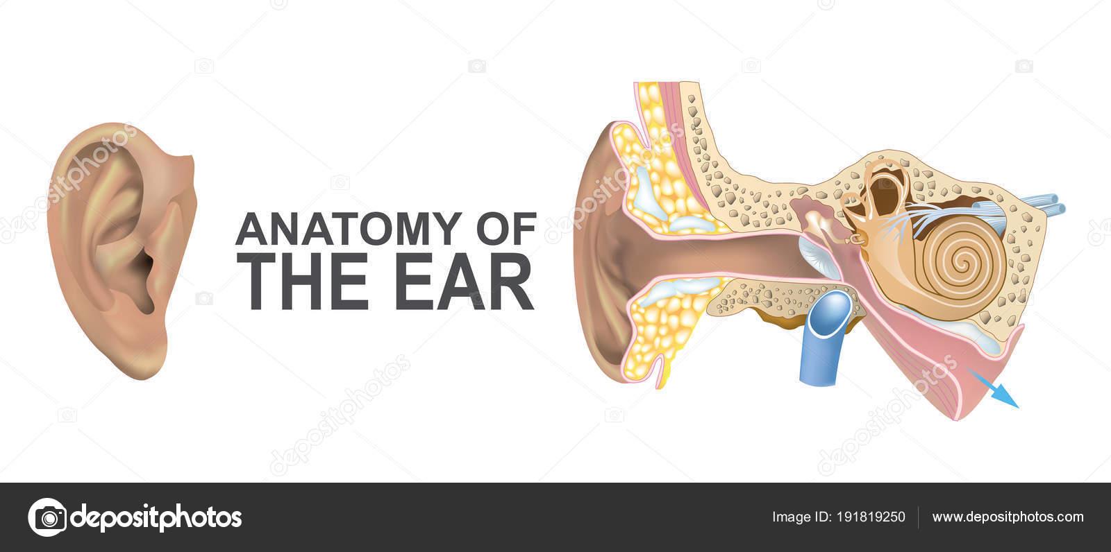 Anatomie des Ohres — Stockvektor © pattarawit #191819250