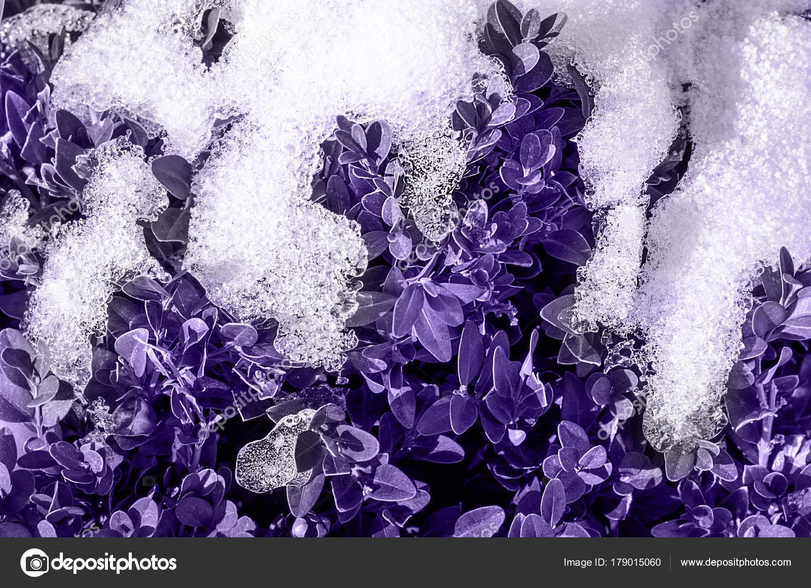Concepto Borrosa Color Moda Del Año Hojas Color Ultra Violeta ...