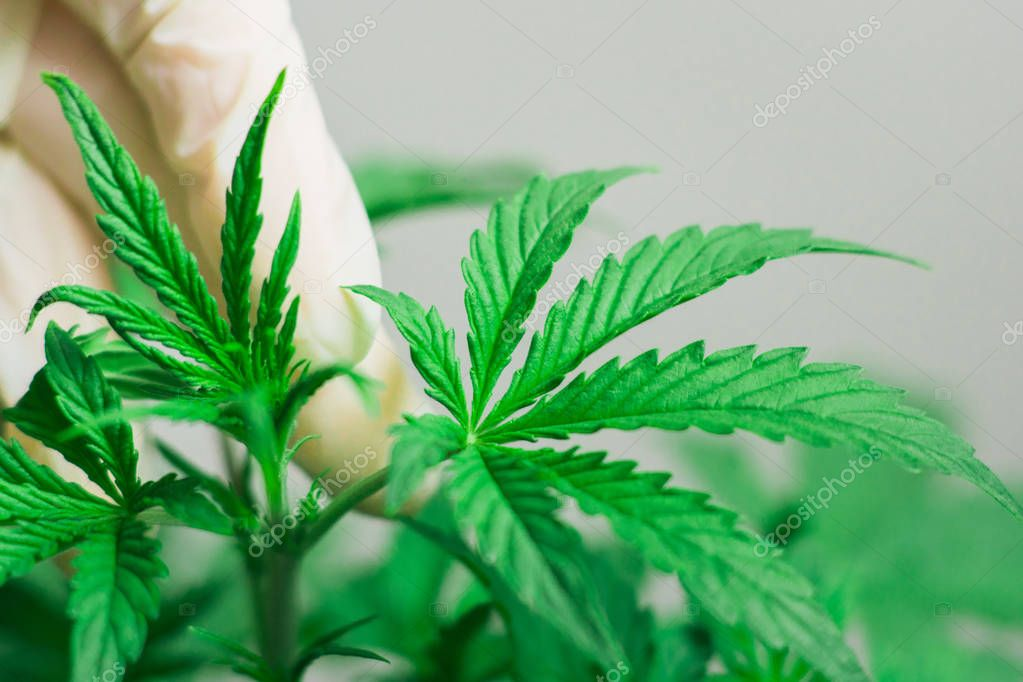 The hand of a medical professional and a cannabis leaf is a concept of growing marijuana by professionals On a white background