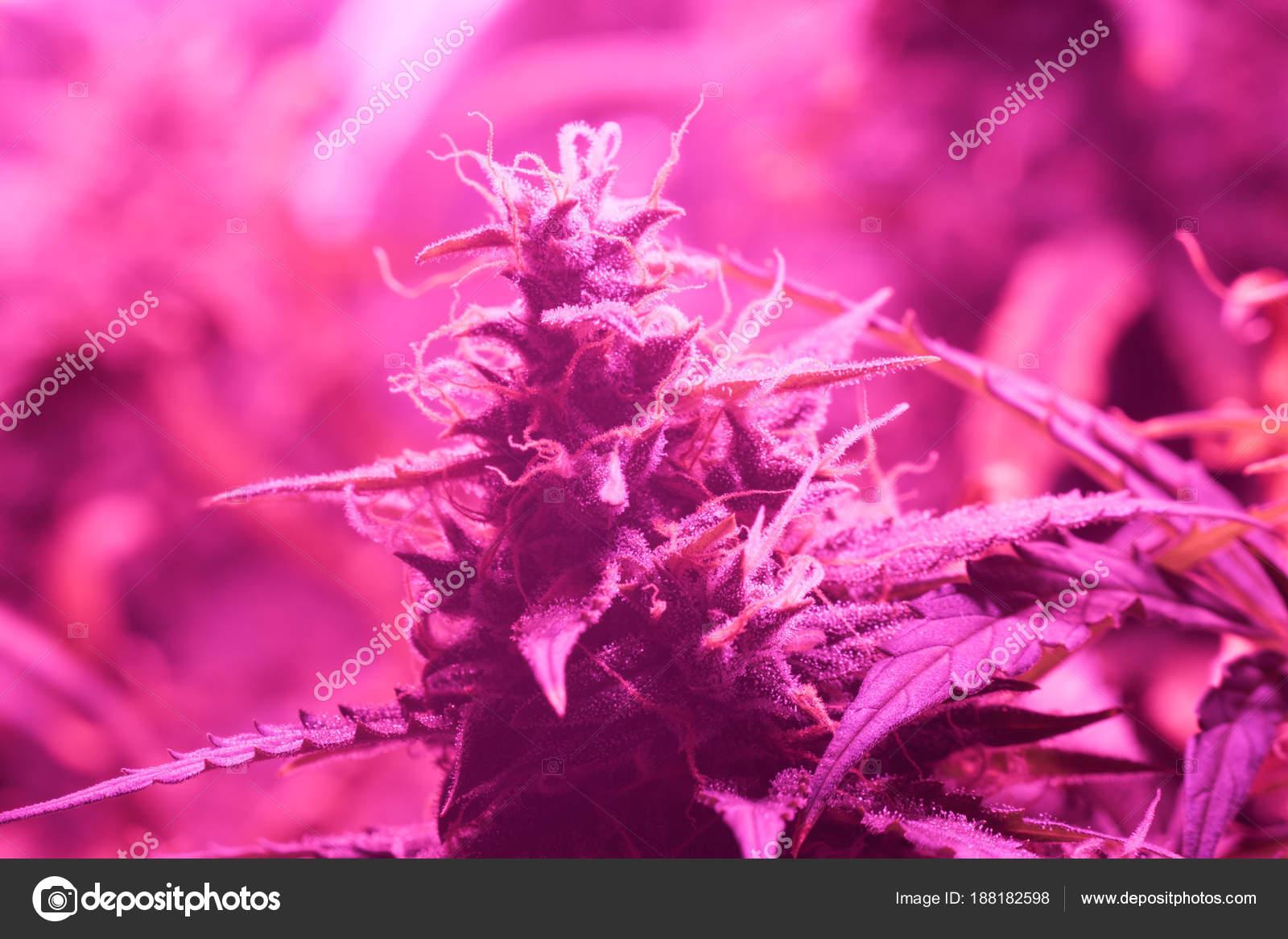 Des Sous Cultivées De Bud Lampes La LedLe À Concept Cannabis WordCBex