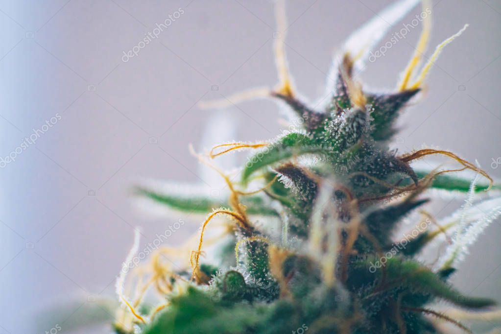 marijuana cbd thc. Concepts of legalizing medicinal herbs weed, bud cannabis, Macro shot with sugar trichomes, buds grown cannabis in the house, Bud cannabis before harvest