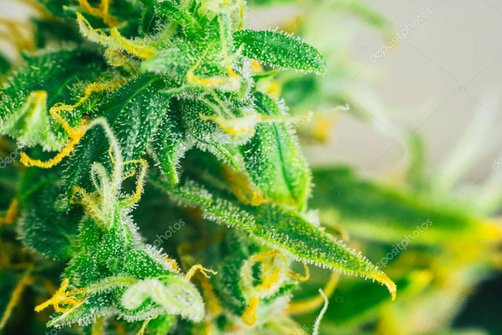 cannabis buds Macro shot on weed with sugar trichomes. concepts of grow and use of marijuana trichomes cbd thc medicinal. Concepts of legalizing herbs grow indoor. Copy space
