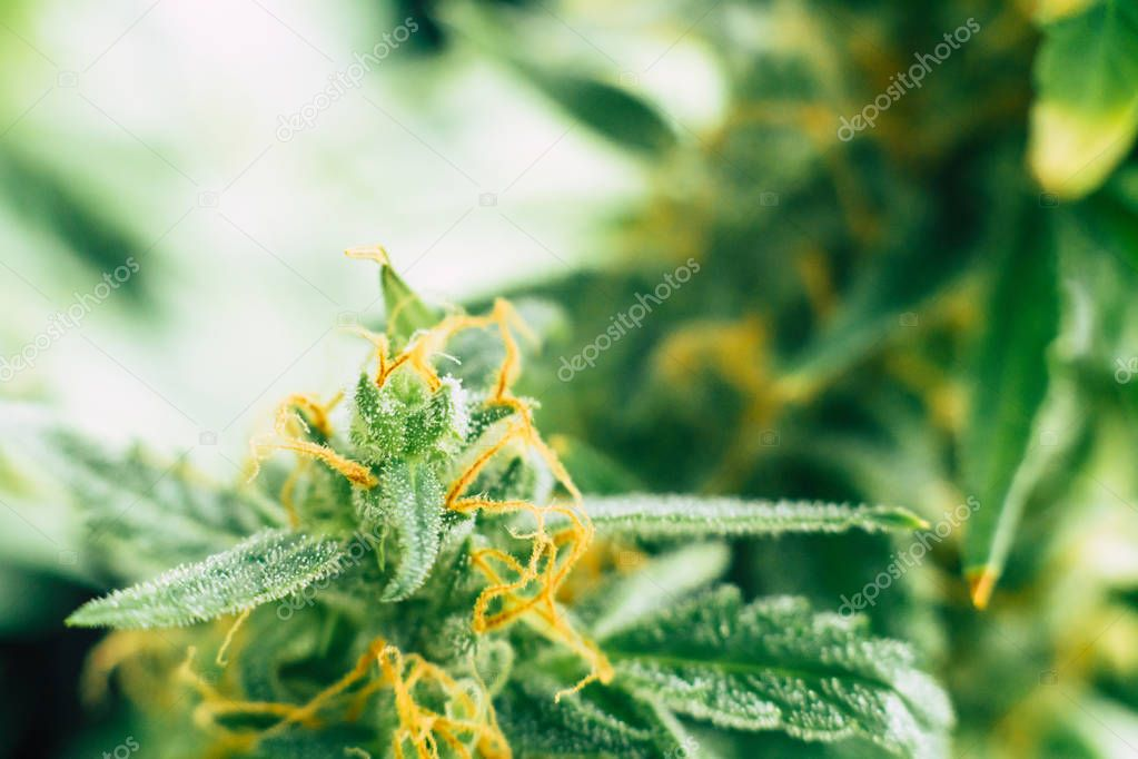 buds before harvest. cannabis grow indoor Macro shot sugar trichomes cbd thc concepts of grow and use of marijuana medicinal purposes. Concepts legalizing
