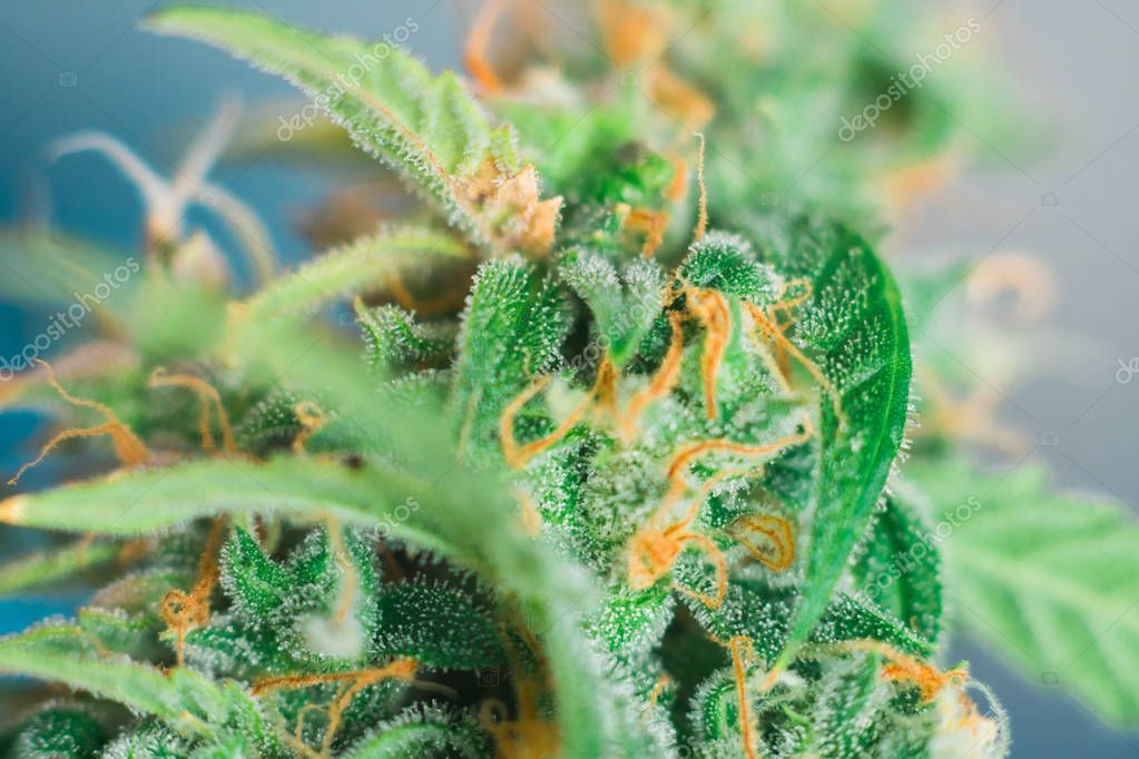 weed grow buds indoor buds cannabis Macro shot with sugar trichomes. concepts of grow and use of marijuana cbd thc medicinal. Concepts of legalizing herbs