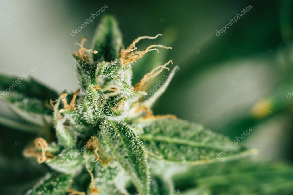 weed buds of with sugar cbd thc medicinal trichomes. concepts of grow and use of marijuana trichomes. cannabis buds Macro shot. Concepts of legalizing herbs grow indoor. Copy space