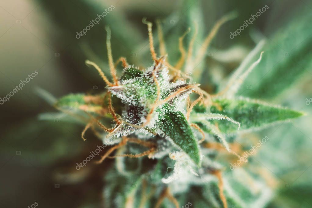 shot Macro buds of medicinal marijuana trichomes cbd thc. Concepts of legalizing herbs weed, bud cannabis, with sugar , buds grown cannabis in the house, Bud cannabis before harvest