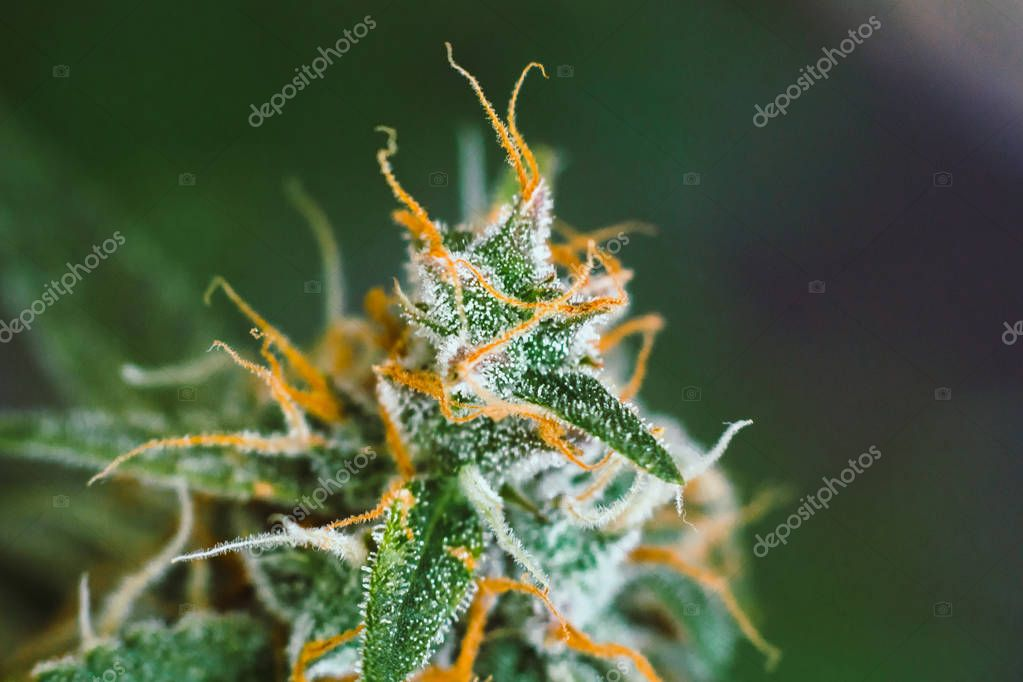 buds cannabis sugar trichomes cbd thc shot , with Macro buds of medicinal marijuana . Concepts of legalizing herbs weed,, grown cannabis in the house