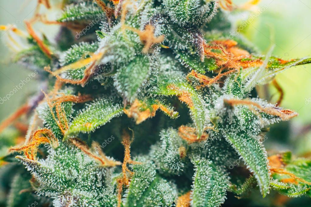 buds cannabis in the indoor grown before harvest. Macro shot with sugar trichomes. concepts of grow and use of marijuana cbd thc medicinal. Concepts of legalizing herbs weed