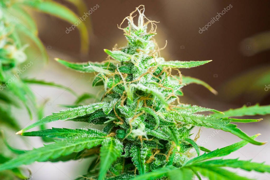 cannabis grown in the house before harvest. concepts of grow and use of marijuana cbd thc medicinal. Concepts of legalizing herbs weed, Macro shot with sugar trichomes, buds