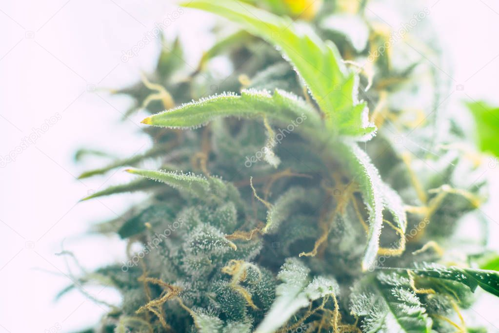 weed Beautiful buds before harvest. cannabis grow indoor Macro shot sugar trichomes cbd thc concepts of grow and use of marijuana medicinal purposes. Concepts legalizing