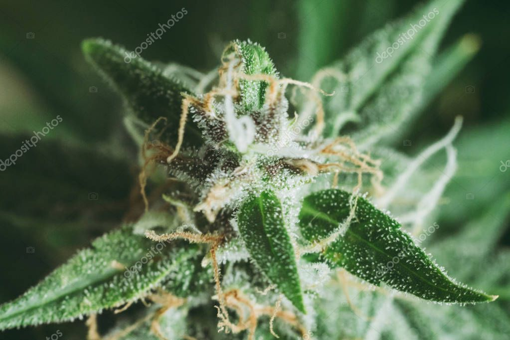 marijuana for medicinal purposes. Concepts legalizing weed Beautiful buds before harvest. cannabis grow indoor Macro shot sugar trichomes cbd thc concepts of grow and use of