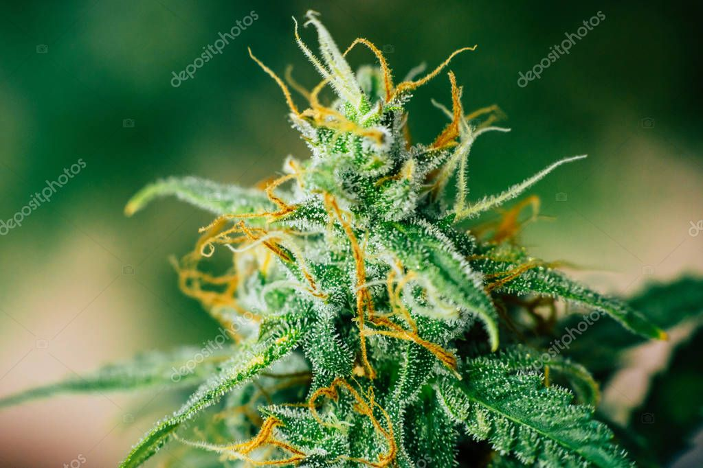 Macro shot with sugar trichomes, Beautiful buds cannabis grown in the house before harvest. concepts of grow and use of marijuana cbd thc medicinal. Concepts of legalizing herbs weed