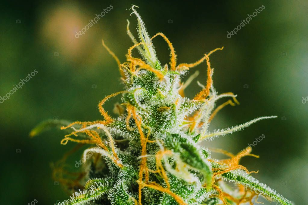 marijuana cbd thc. bud cannabis, Concepts of legalizing medicinal herbs weed, Macro shot with sugar trichomes, buds grown cannabis in the house, Bud cannabis before harvest