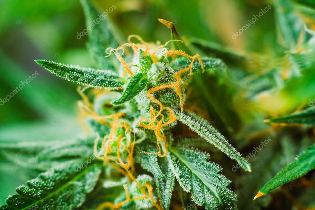 buds of cannabis grown indoor before harvest. Macro shot with sugar trichomes cbd thc, concepts of grow and use of marijuana for medicinal purposes. Concepts legalizing weed Beautiful