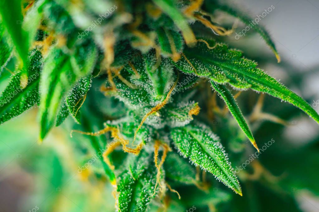 medicinal marijuana buds . Concepts of legalizing herbs weed, buds cannabis sugar trichomes cbd thc shot, grown cannabis in the house, Bud cannabis before harvest