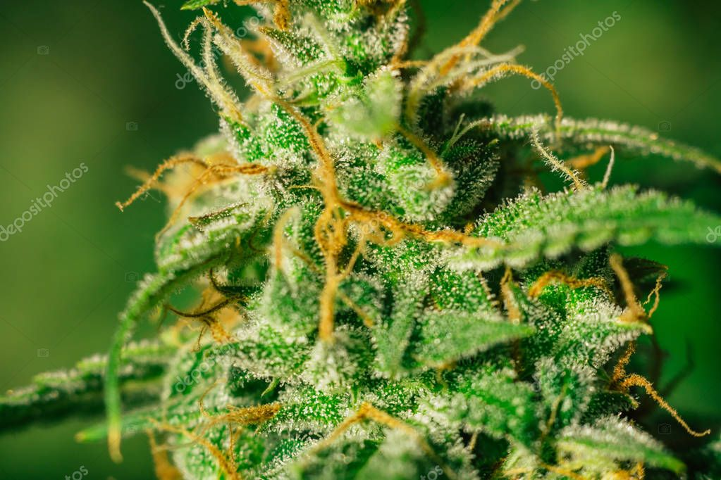 buds cannabis Macro shot on weed with sugar trichomes. concepts of grow and use of marijuana trichomes cbd thc medicinal. Concepts of legalizing herbs grow indoor