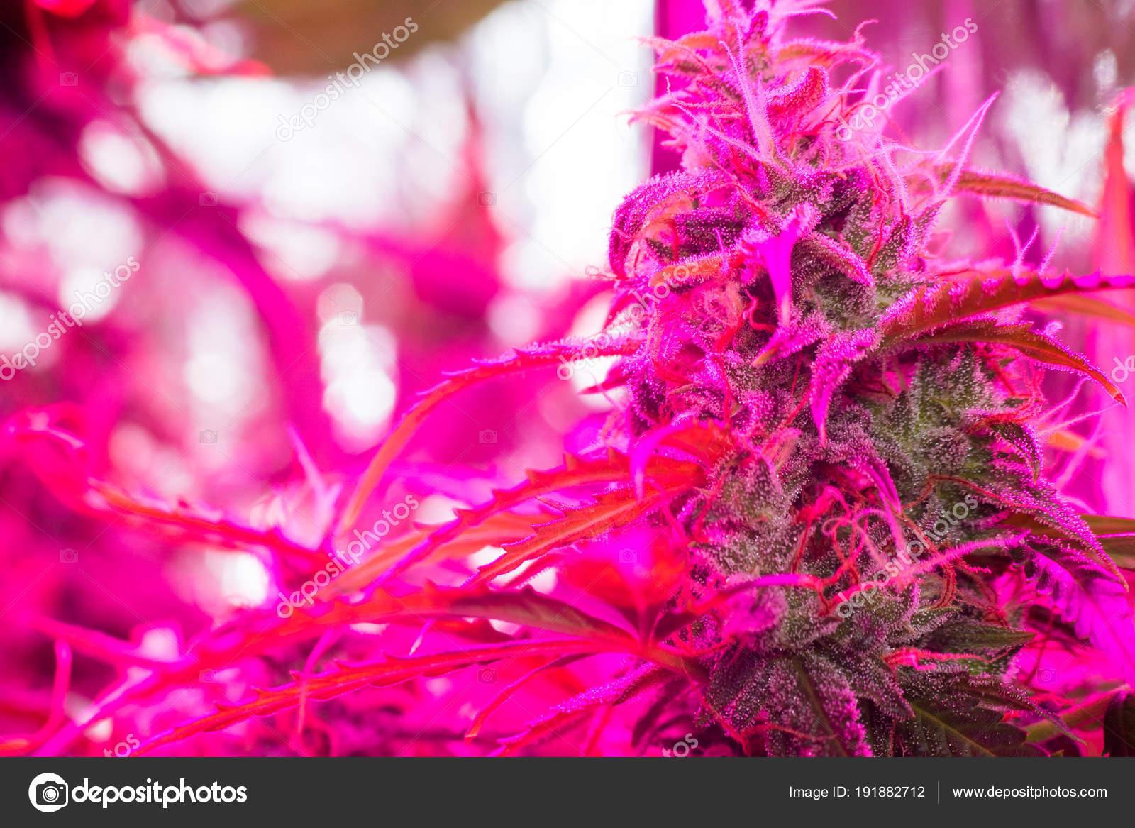 Poussant Lampes Marijuana Sous La Artificielle Led Lumière TJcuK3lF1