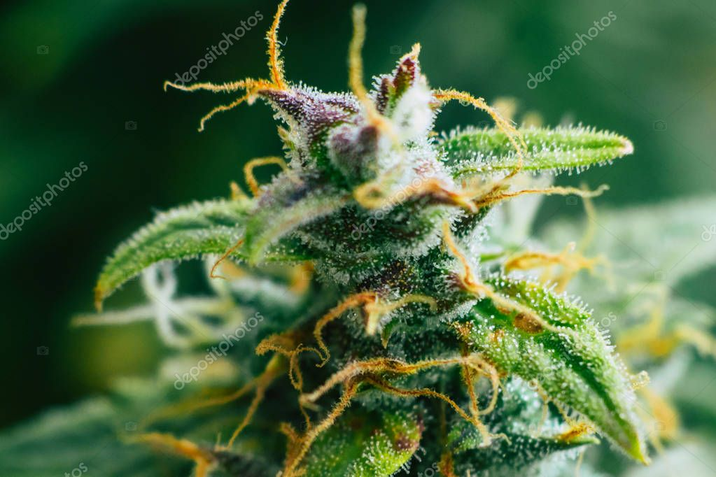 Macro shot with sugar trichomes cbd thc, concepts of grow and use of marijuana for medicinal purposes. Concepts legalizing weed Beautiful buds before harvest. cannabis grow indoor