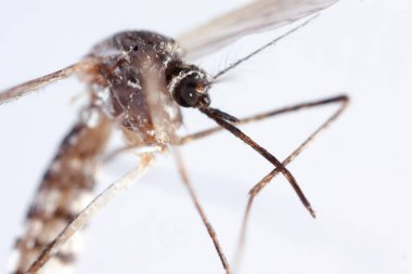 mosquito, dangerous vehicle of infection