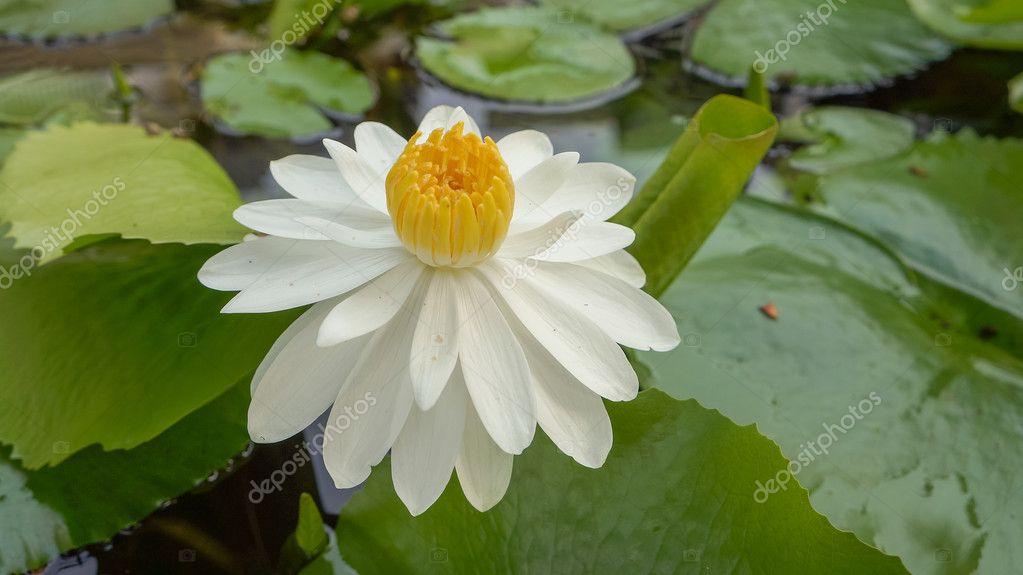 Weiße Lotusblüte mit grünen Blatt Hintergrund — Stockfoto ...