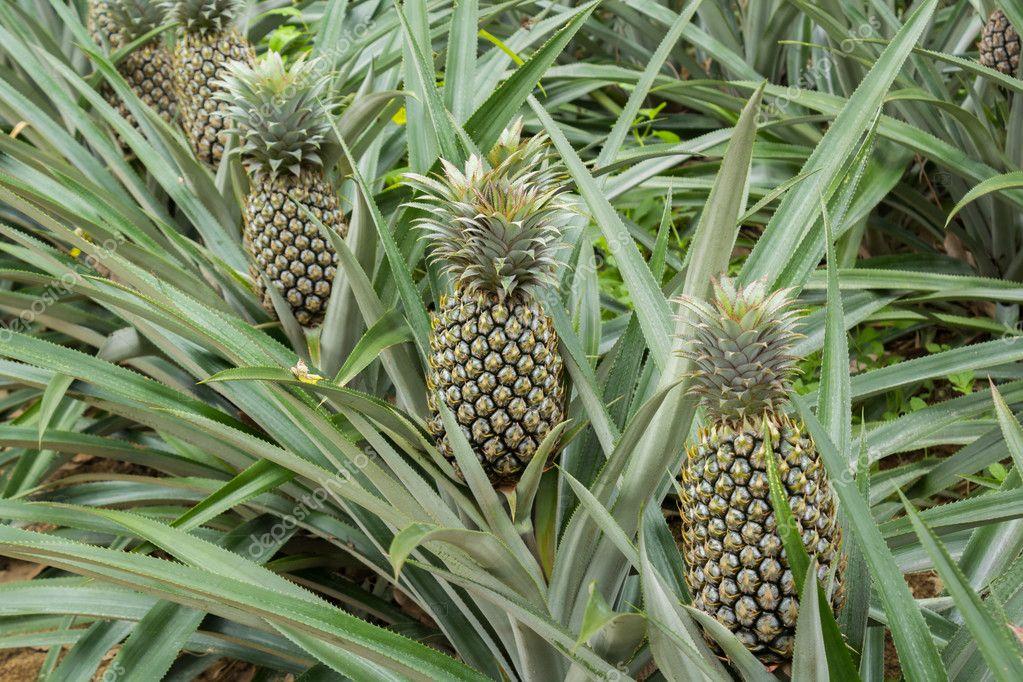 campo della pianta dell 39 ananas in giardino di gomma foto stock thanthip. Black Bedroom Furniture Sets. Home Design Ideas