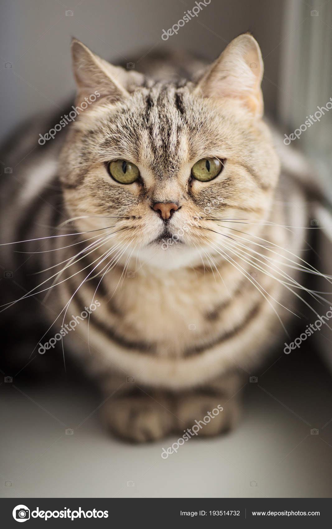 Britannico Del Gatto Tigrato Che Si Siede Su Un Davanzale Della