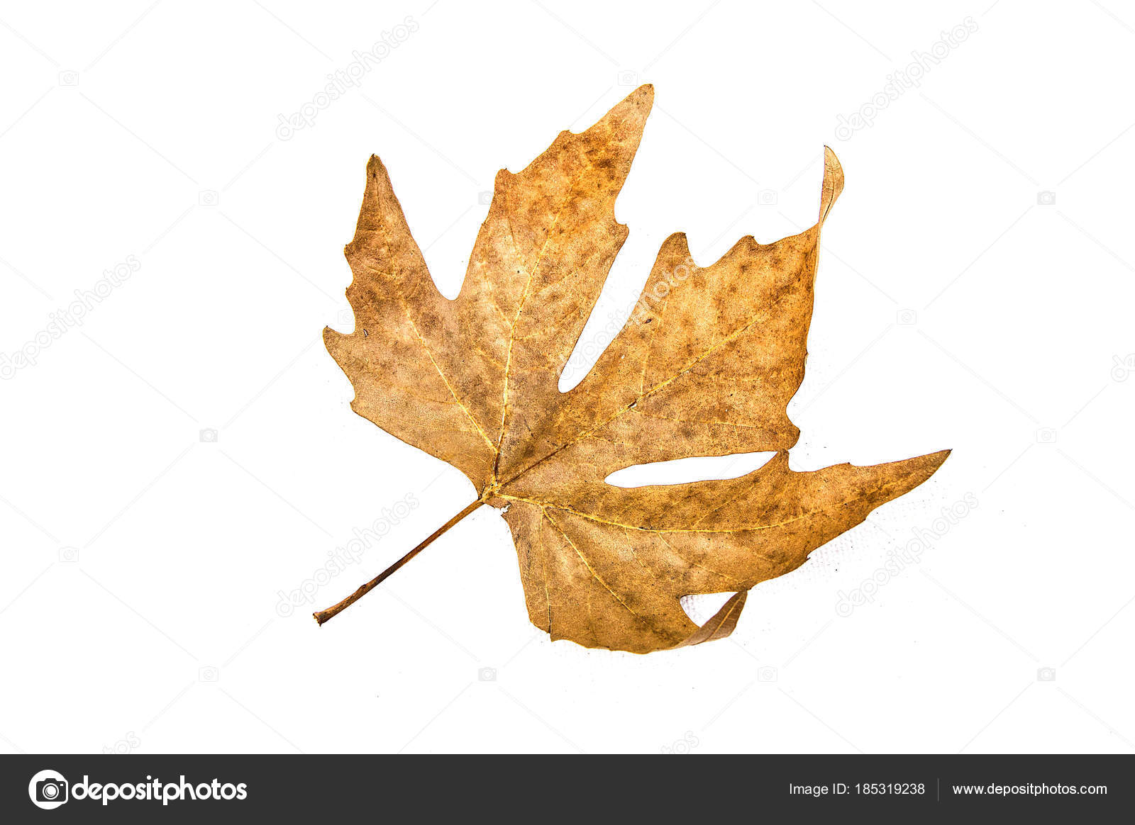 Dried Leaves Dried Tree Leaves White Background Decorative