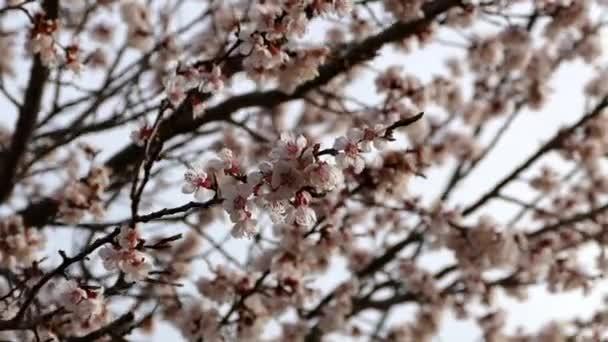 meruňkový strom kvete v jarních měsících. rozkvetlých ovocných stromů na jaře. Otevřel svůj největší meruňkové stromy kvetou na jaře
