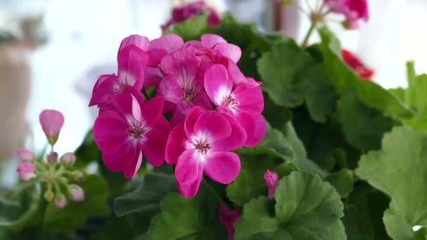 osoba se dotýká květiny v květináči, růžové květy okrasné