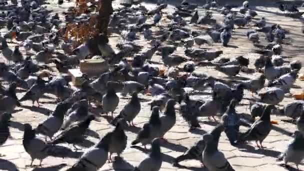 pigeons fed in the field, hungry pigeons feed in the open field in winter,