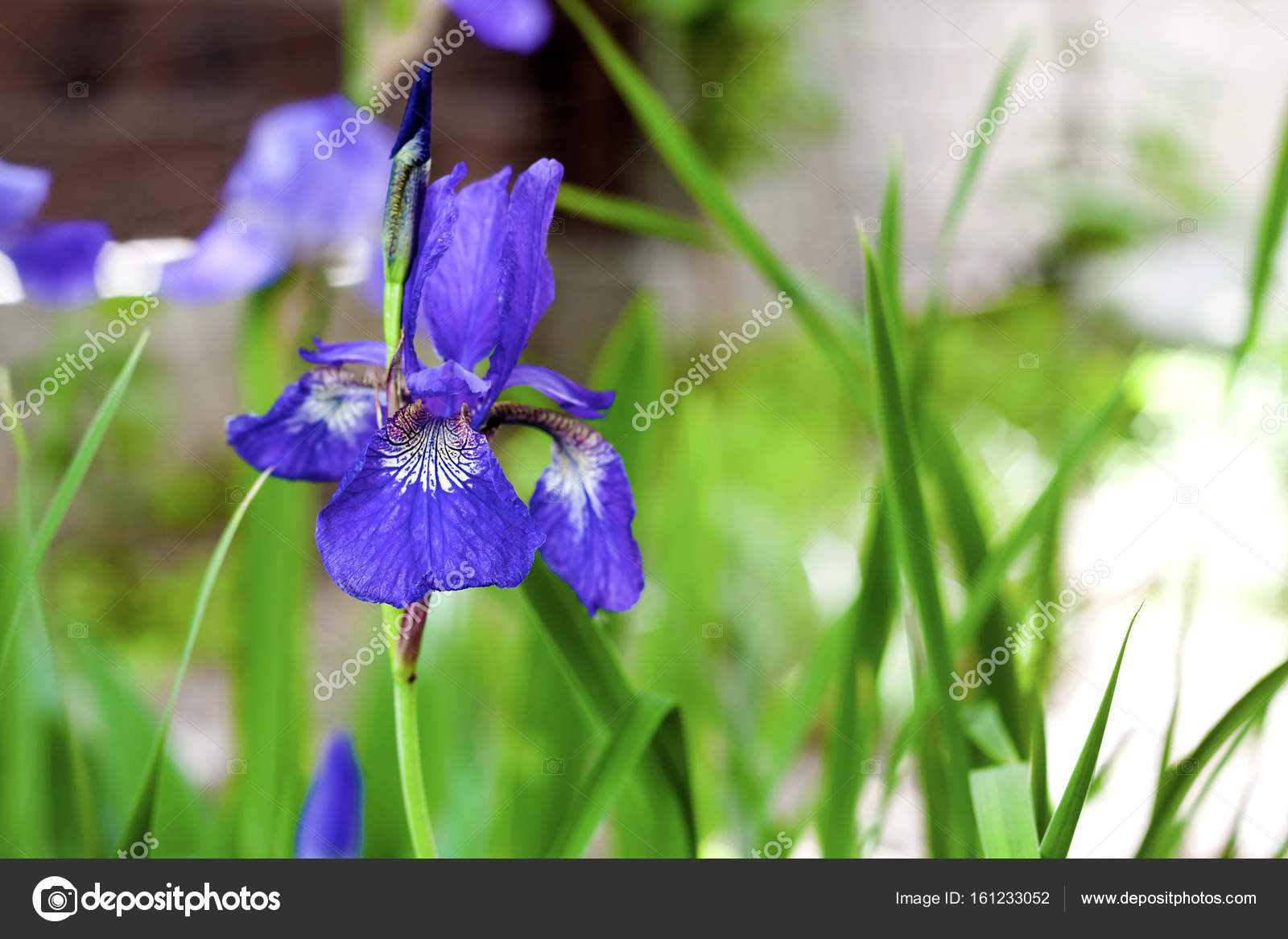 Blue siberian iris flower closeup on green garden background stock blue siberian iris flower closeup on green garden background photo by tynza izmirmasajfo Choice Image