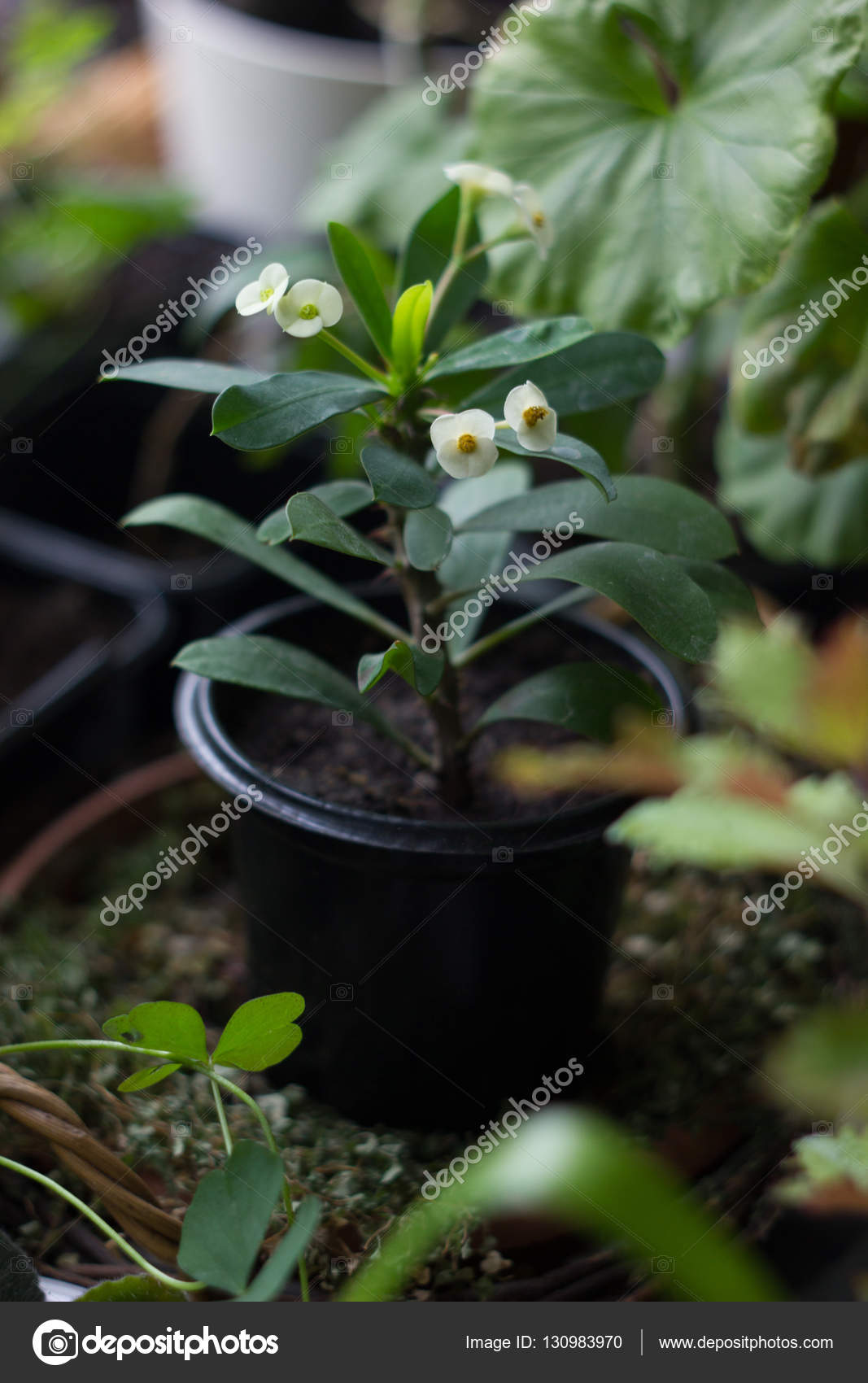 Euphorbia Milii Home Plant With White Flowers Stock Photo