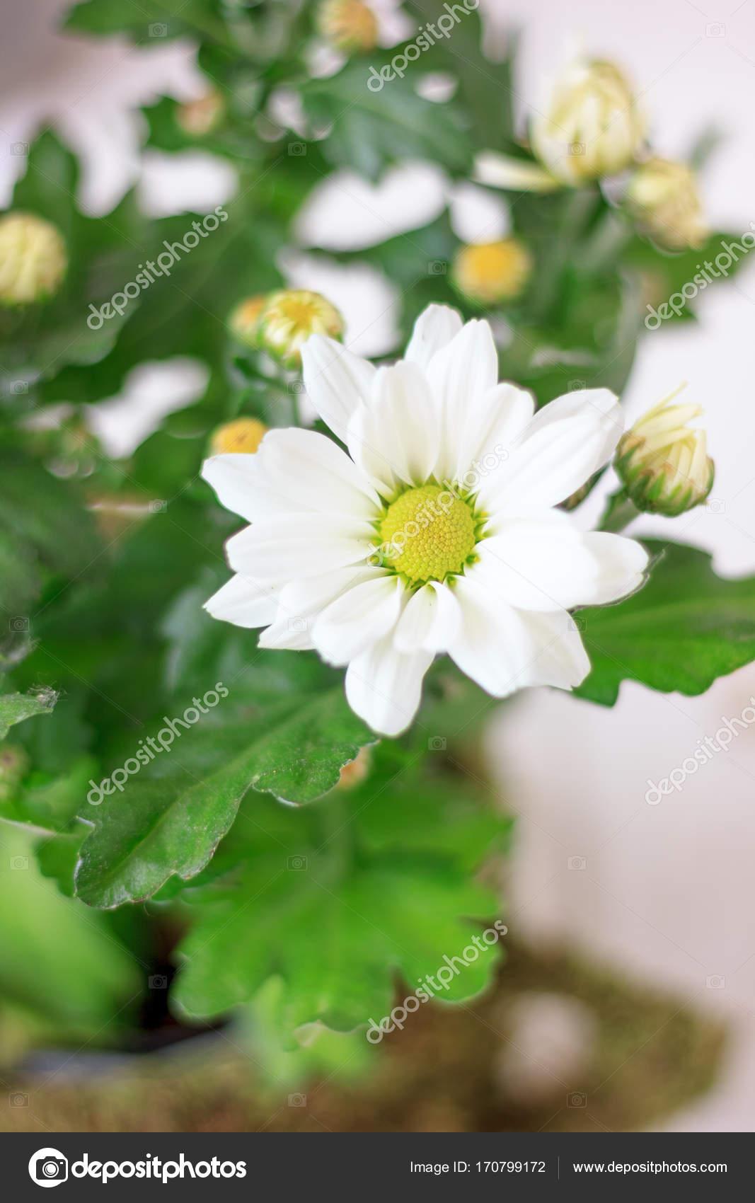 Chrysanthemum plant as home plant white flowers and beautiful chrysanthemum plant as home plant white flowers and beautiful flower pot photo by sharafmaksumov mightylinksfo