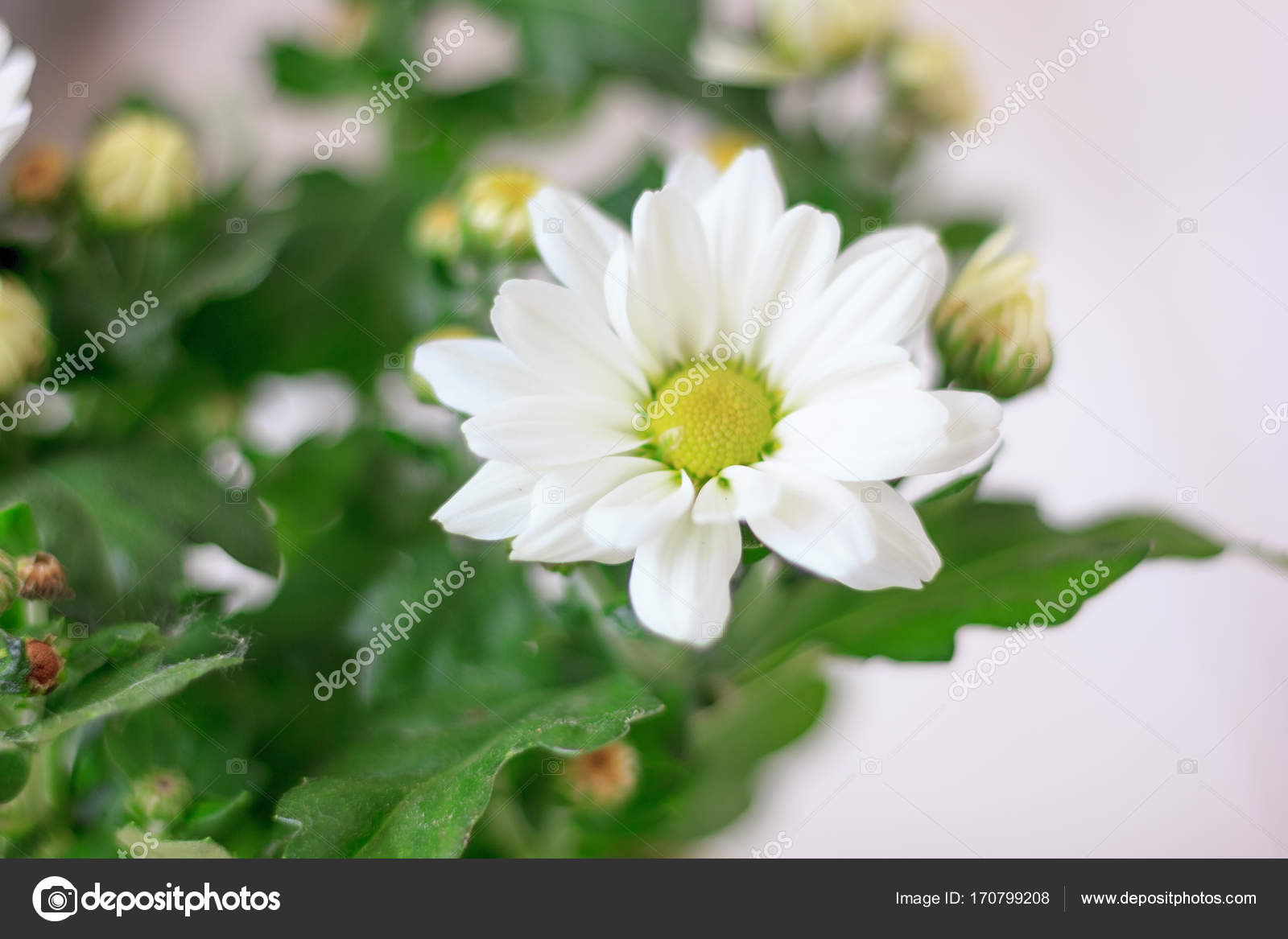 Chrysanthemum Plant As Home Plant White Flowers And Beautiful