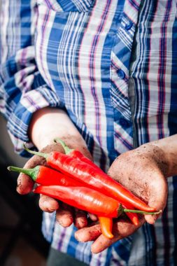 Farmer hands holding red hot chili peppers