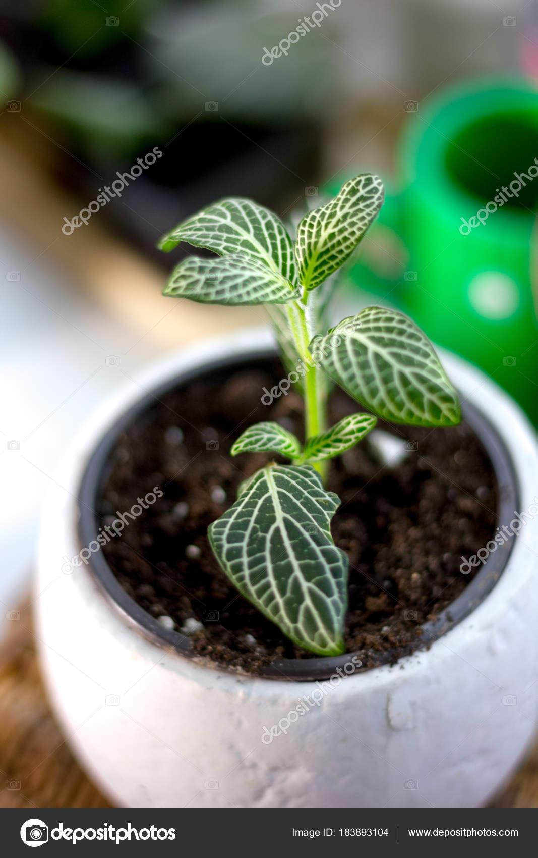 Green Fittonia House Plant White Flower Pot Stock Photo