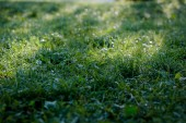Zelené trávě trávníku pozadí s kapkami Rosy