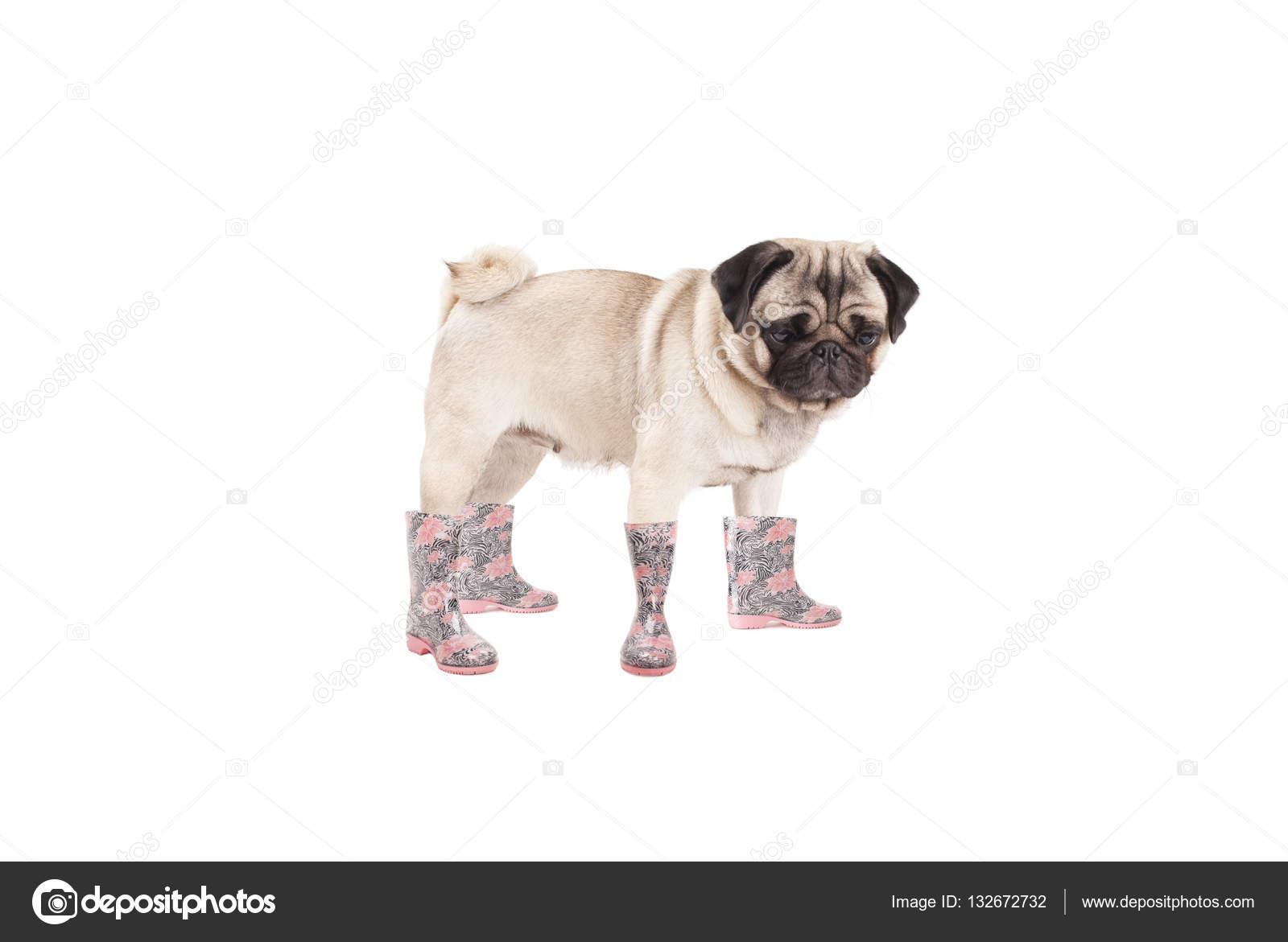 info for 37547 a61e3 Niedliche stehende Mops Hund Welpen tragen Gummistiefel ...