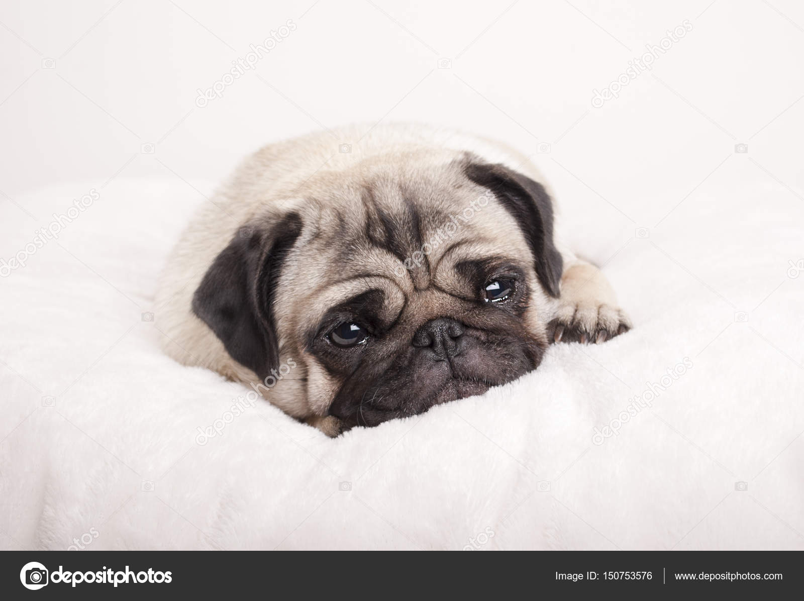 Lovely Sad Little Pug Puppy Dog Lying Down Crying On Fuzzy Blanket