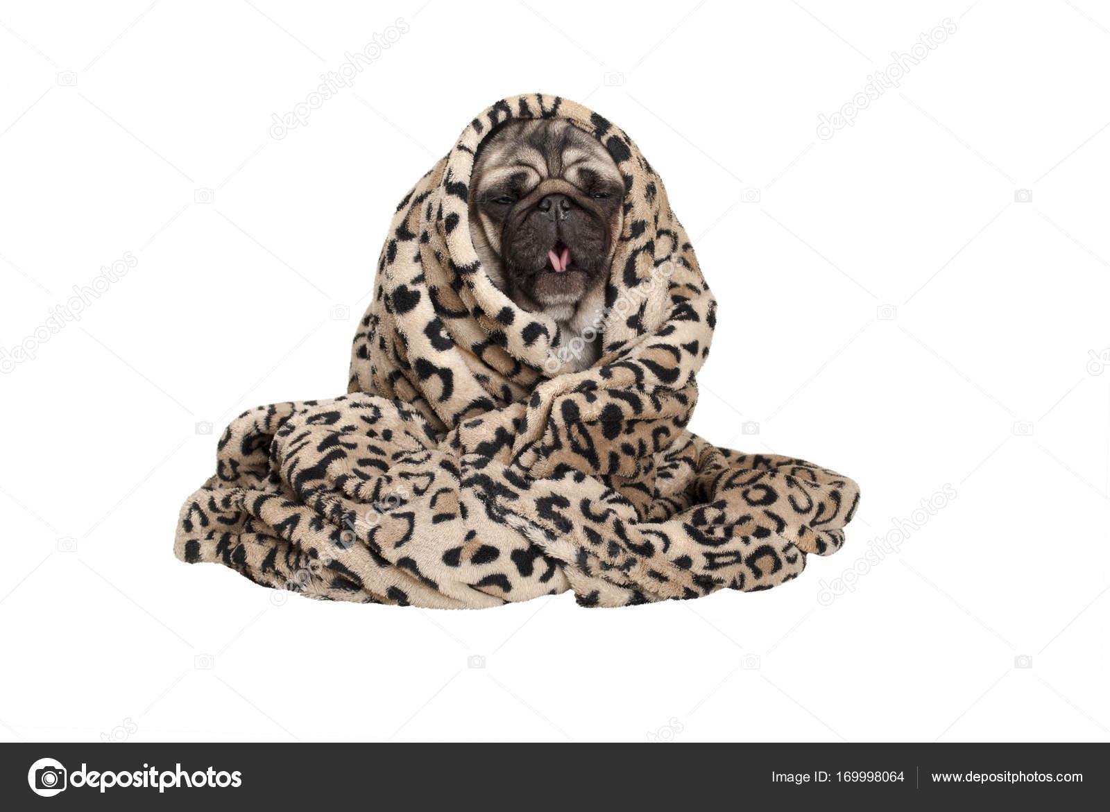 Cachorrinho Fofo Pug Sentada Enrolada Num Cobertor Felpudo Tosse