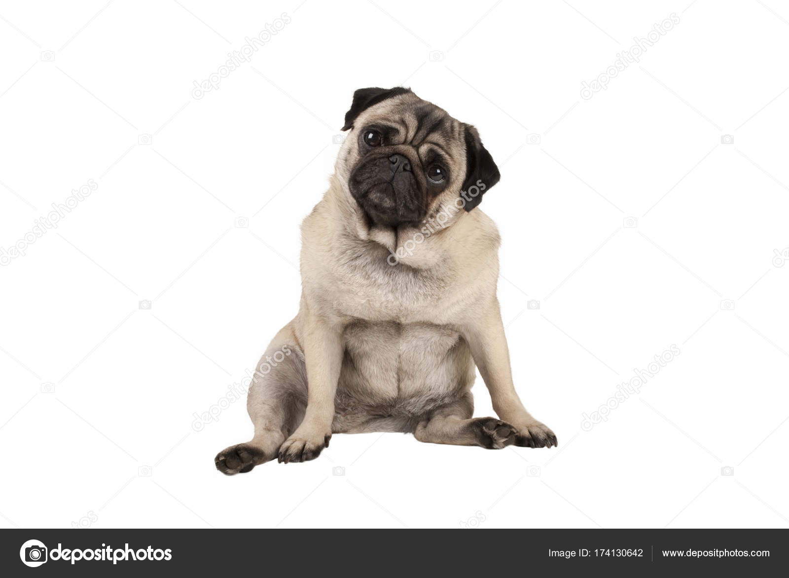 Pictures Pug Puppy Funny Funny Cute Pug Puppy Dog Sitting Down Looking Amazed Stock Photo C Monicaclick1 174130642