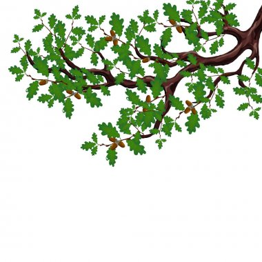 A green branch of a large oak tree with acorns. Volumetric drawing without a mesh and a gradient. Isolated on white background. illustration