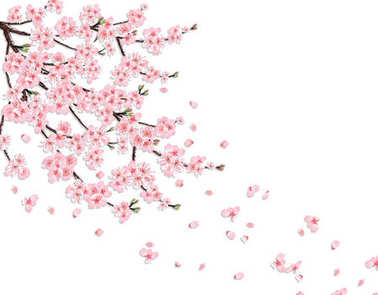 Sakura. A lush cherry branch with pink flowers in the wind loses petals. Isolated on a pink background. illustration