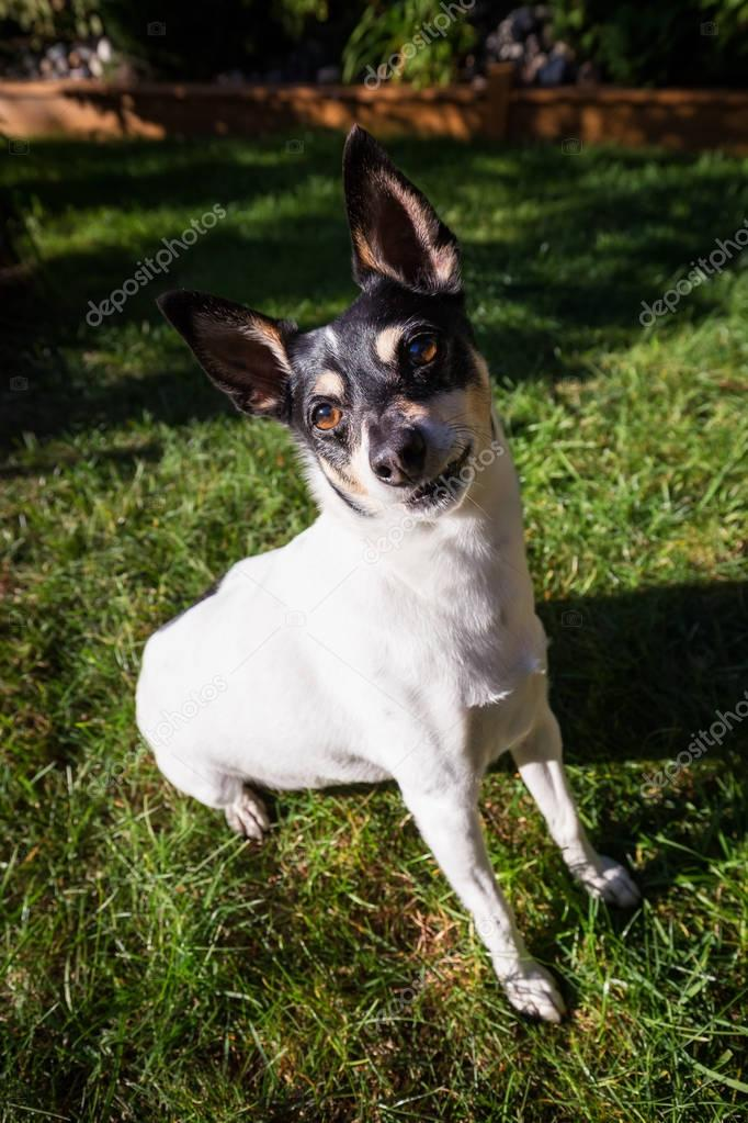 Cute portrait of a small family dog, toy fox terrier, sitting on green grass during a sunny day.