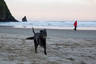 Couple happy dogs are running on the sandy beach during a vibrant morning. Taken in Canon Beach, Oregon Coast, United States of America.