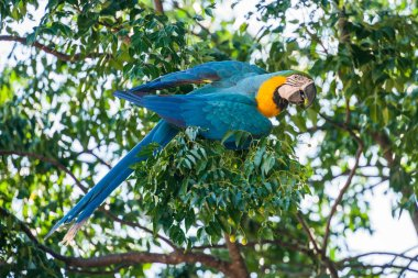 Macaw parrot  on branch