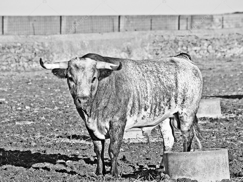 Bull on countryside Salamanca, Spain in black and white