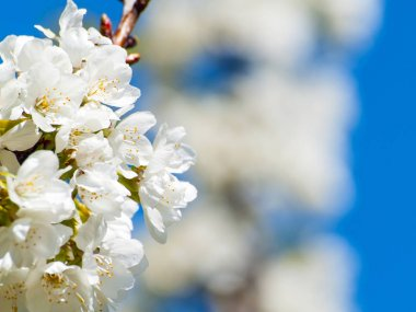 Cherry tree on blooming at springtime with copy space