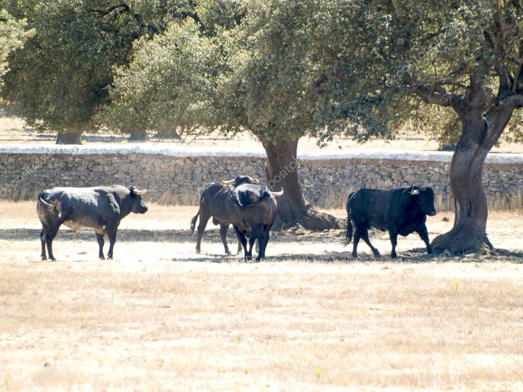 Brave bulls on the pasture in Spain at summertime