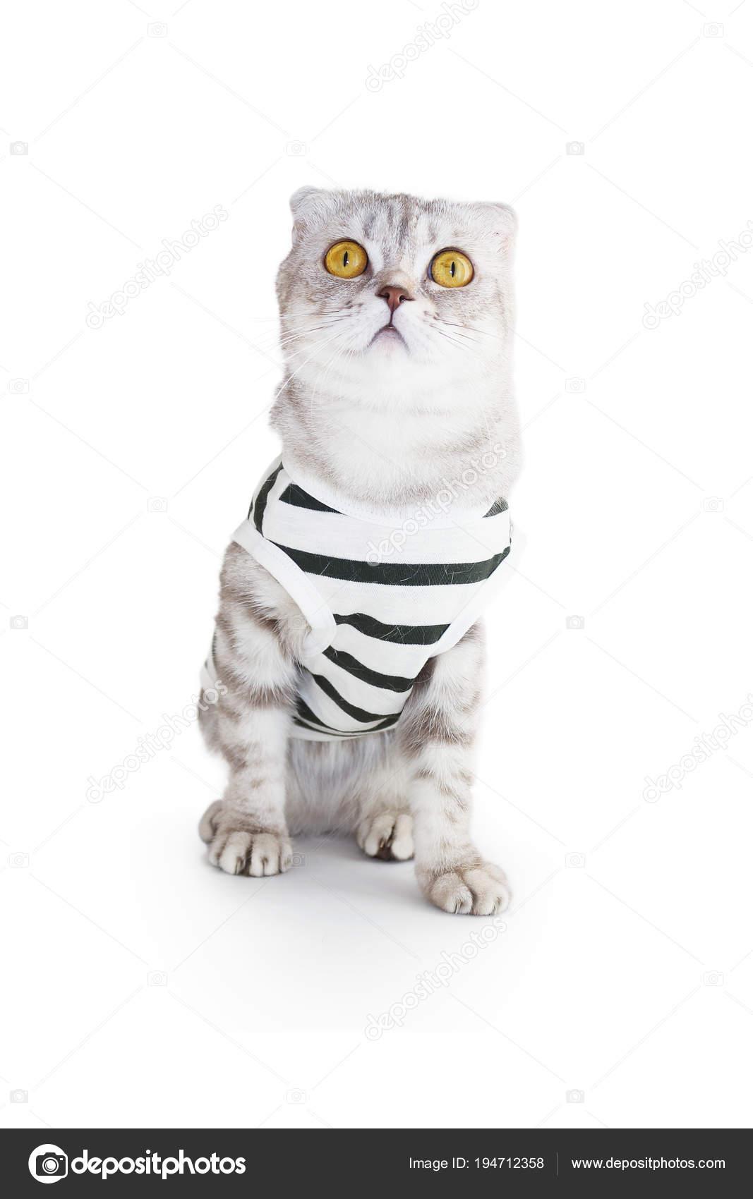 dca05b8bd088 γάτα σε ρούχα σε λευκό φόντο — Φωτογραφία Αρχείου © Doriti  194712358